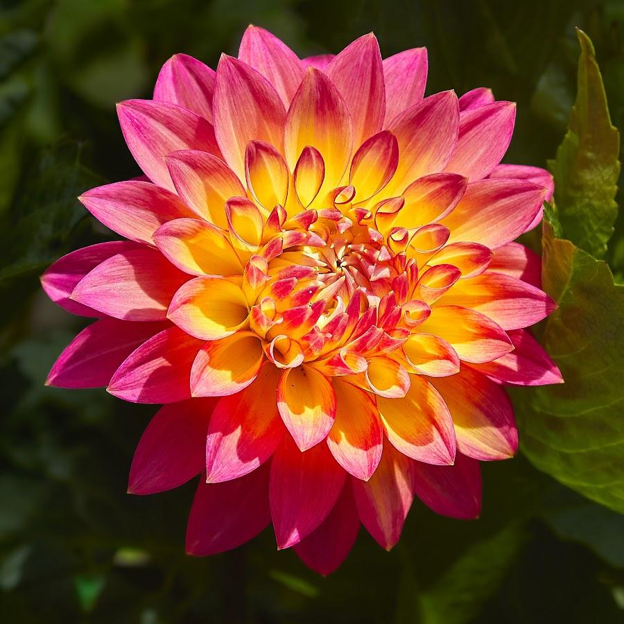 Dahlia 8875~ by Raphael RaCcoon - Flowers Single Flower