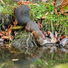 scoiattolo americano by Nando Scalise - Animals Other
