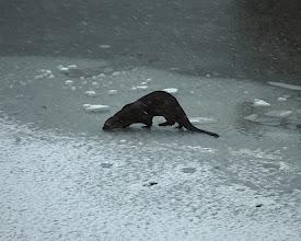 Photo: A Woods Hole Otter