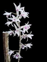 Photo: Dendrobium transparens 'Ori Gem' - Hoàng Thảo Ý Ngọc