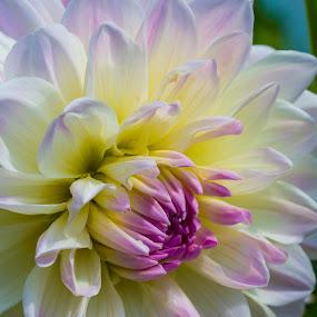 Beautiful flower in my garden by Greg Bracco - Flowers Single Flower ( summer flowers, summer garden, flowers & plants. greg bracco, flowers, greg bracco photography,  )