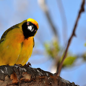 Young weaver. by Dave Ross - Animals Birds ( wild, tagged birds, weaver, yellow, africa )