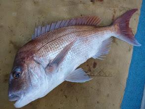 Photo: うおおーっ!  朝イチから良型の真鯛! 3kgかな?