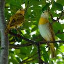 Saffron finch (juveniles)