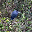 Little Blue Heron (adult)