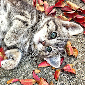 KITKAT by Melanie Pond - Animals - Cats Kittens ( cats, cat, kitten, coolpix, catsofinstagram, kitties, cute, kitty,  )