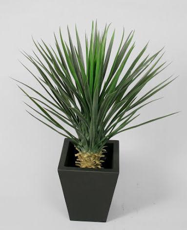 Yucca Palm (Rostrata) - 82cm & 100cm