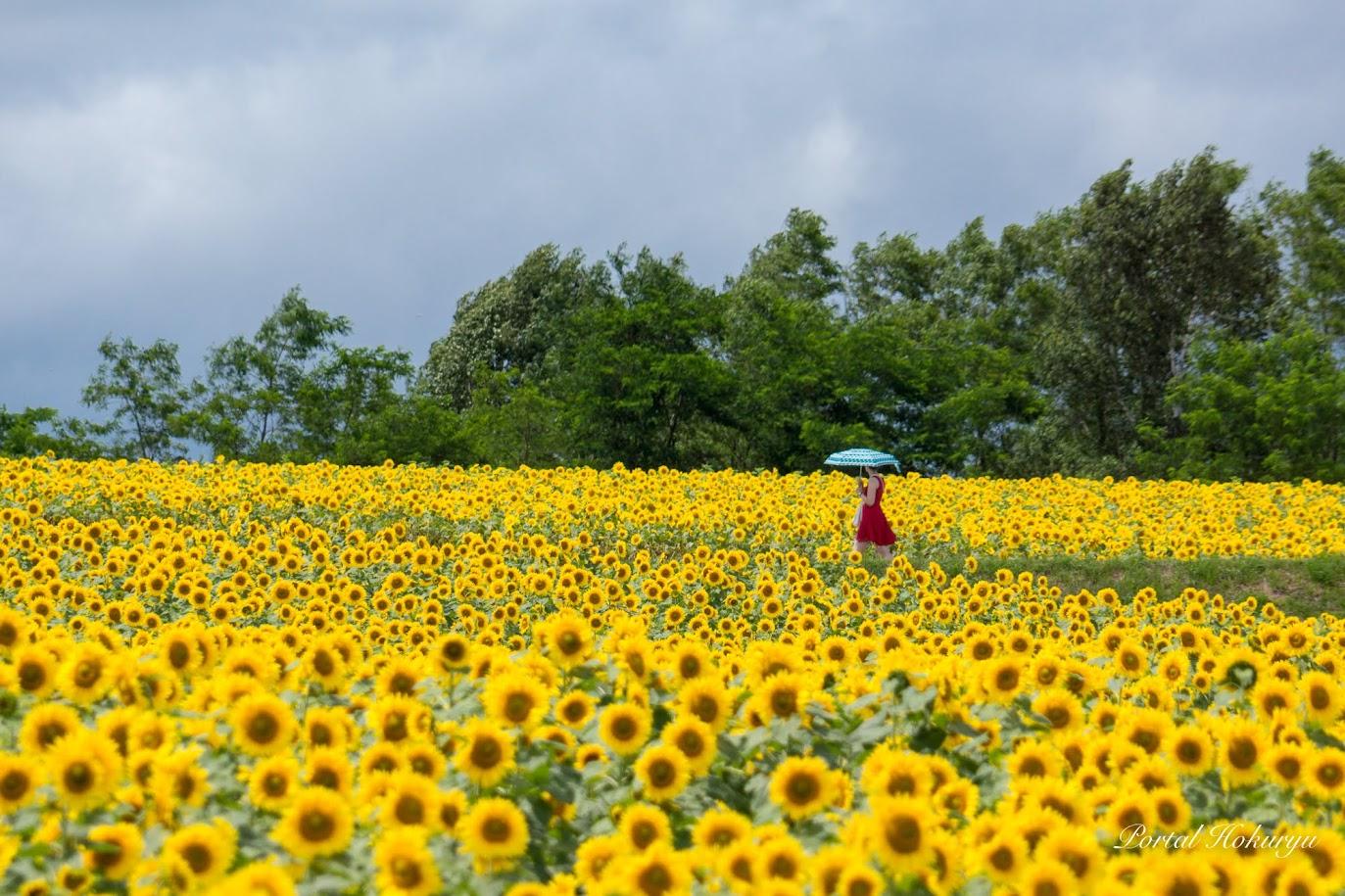 ひまわり畑と日傘の女性