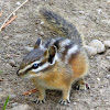 Golden Mantle Striped Chipmunk