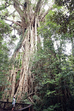 "Photo: One of several ""curtain"" strangler figs featured on tourist maps of Tablelands. It was worth taking the side road and we also saw lovely small cattle farms in the rolling countryside--looks a lot like TN but much steeper hills!"