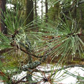 Pine needles at the Rattlesnake Wilderness Trail Head II by Gregg Landry - Nature Up Close Trees & Bushes ( pine tree, montana, pine needles, missoula, spring,  )