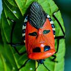 Man faced stink bug/ Shield bug