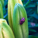 Spotted Lady Beetles