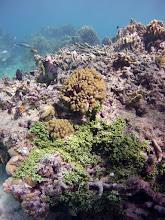 Photo: Sea grapes, Caulerpa verticillata, in the Seaward Slope