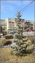 Photo: Molid argintiu  (Picea pungens) - din Parcul Teilor - 2017.01.28