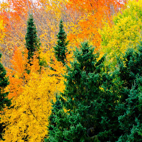 Fall Palette by Christopher Burnett - Landscapes Forests ( michigan, upper peninsula, spruce, hardwoods, pwcautumn, forest, autumn color, fall color )