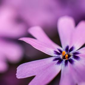 Creeping Phlox by Craig Pifer - Nature Up Close Flowers - 2011-2013 ( plant, macro, purple, nature, phlox stolonifera, backyard, creeping phlox, flower )