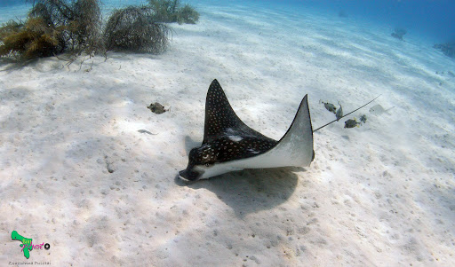 bonaire-manta-ray.jpg - A fancifully spotted manta ray glides along a reef off Bonaire.