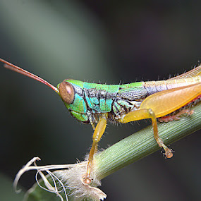 Selamat Pagi... by Just Arief - Animals Insects & Spiders ( macro, indonesia, close up, natural, grasshopper )