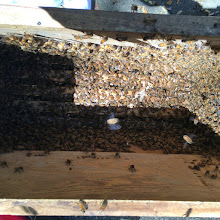 Photo: The bees have been poured into a nuc hive - I'll move it tomorrow to the garden.