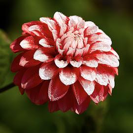 Dahlia 8569~ 1 by Raphael RaCcoon - Flowers Single Flower