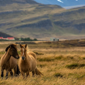 Icelandic Horses by Ketan Vikamsey - Animals Horses ( canonusa, kvkliks, ketanvikamsey, photosergereview, travelawesome, guidetoiceland, photooftheday, photographers_of_india, icelandair, icelandichorses, lonelyplanet, natgeohd, dpeginsta, natgeoyourshot, icelandencounter, traveltheworldpix, lc_india, bbctravels, inspiringiceland, travelgram, picoftheday, natgeotravel, dslrofficial, lonelyplanetmagazineindia, natgeo, canon5dmarkiv, canonphotography, natgeotravelpic, phodus_competition, kliksubmit )