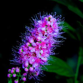 by Žana Popović - Nature Up Close Gardens & Produce ( purple, nature, violet, garden, flower, close,  )