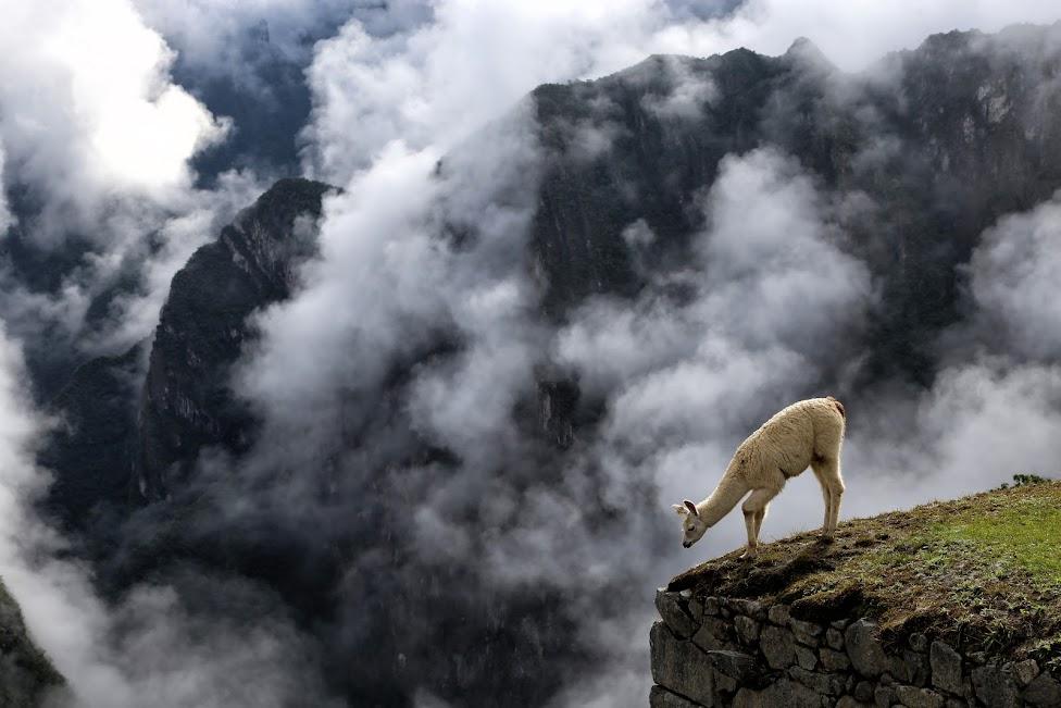 Machu Picchu w chmurach, lama