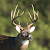 Whitetail Deer Calls file APK for Gaming PC/PS3/PS4 Smart TV