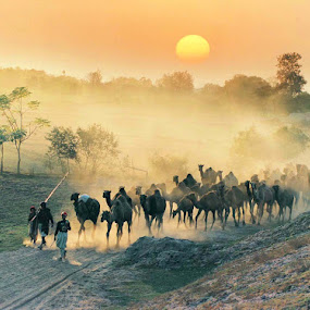 Caravan by Sami Ur Rahman - Landscapes Sunsets & Sunrises ( desert life, camel herd, sunset, dust, back light )