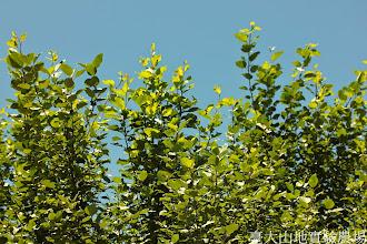 Photo: 拍攝地點: 梅峰-一平臺 拍攝植物: 白楊 拍攝日期: 2014_07_27_FY