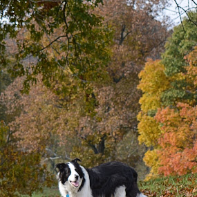 Sherman by William Stewart - Animals - Dogs Portraits ( border collies, animals, dogs, nature, autumn, outdoors, fall, pets, trees, collies )