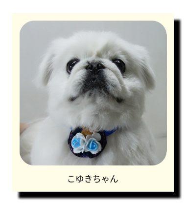 ペキニーズのこゆきちゃん