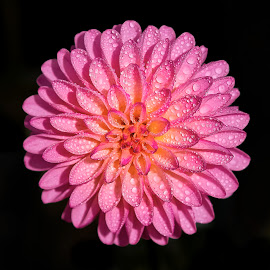 Dahlia 8541~ by Raphael RaCcoon - Flowers Single Flower
