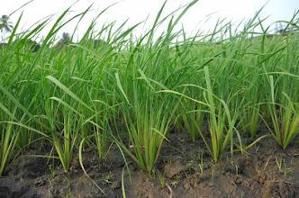 Photo: SRI rice plants in Zubah Town, Paynesvilles, Monrovia-Liberia. (Photo by Erika Styger, Feb 2014)