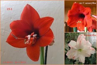 Photo: 19-1 C amarylka x T amarylka  2014-leden v: 43 cm 2k: 13 cm d: 4,4 cm