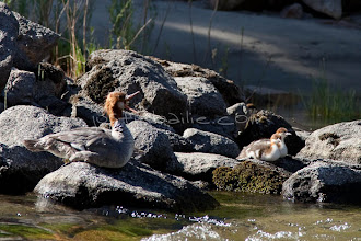 Photo: Mother merganser and chicks along the Salmon River in central Idaho.