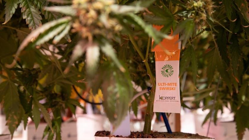 Un sobre de Swirski Ulti-Mite® en una plantación de cannabis medicinal.