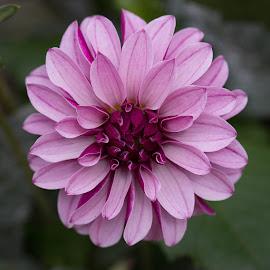 End Of Season by Janet Marsh - Flowers Single Flower ( dahlia, purple )