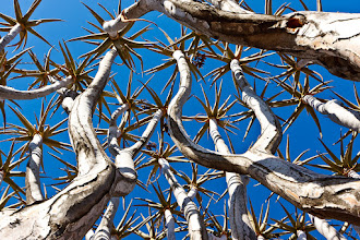 Photo: Here's a photo for #TreeTuesday, looking up through the branches of a quiver tree in Namibia's Quiver Tree Forest. The quiver tree gets its name from the local bushmen's practice of hollowing out the branches to make quivers for their arrows. Technically I'm cheating though because despite the name, it isn't a tree but actually part of the aloe family (Aloe dichotoma).  Here's another photo showing what these unusual plants look like in silhouette: https://plus.google.com/photos/104380036950579300637/albums/5625270201107754657/5625273948668568482