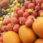 Pumpkin Farms Wallpapers