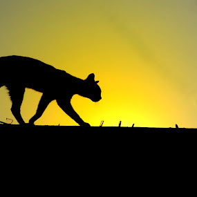 Catwalk by Ishtiak  Ahmed - Animals - Cats Kittens ( cats, walking, bangladesh, sunset, cat portrait, walkway, walk, end,  )