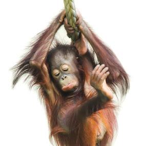 Orangutan with sad face by Amanda Blom - Animals Other ( orang, zoo, sad, orangutan, monkey, animal,  )