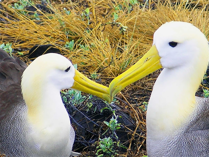 Albatrosses courting in the Galapagos.