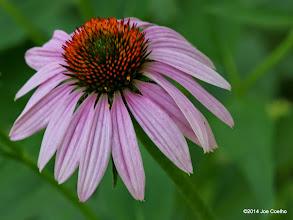 Photo: Purple coneflower.