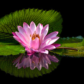 Water Lilly by Andre Minoretti - Flowers Flower Gardens ( nature, water lilly, water flower, vietnam, flower )