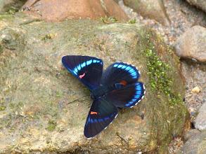 Photo: BLUE-BORDERED (BELLONA) METALMARK--RIO CHALUAYACU