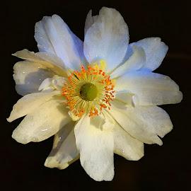 Blanche by Gérard CHATENET - Flowers Single Flower