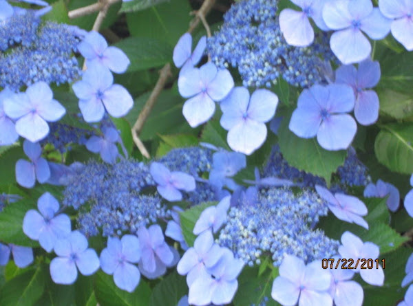 Lace Capped Hydrangea - Planted In Memory Of Mom Recipe