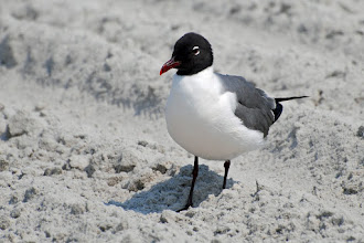Photo: Laughing Gull (Larus atricilla)